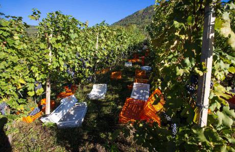 Valtellina: vendemmia