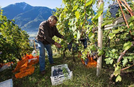 La raccolta dell'uva sui terrazzamenti Valtellinesi