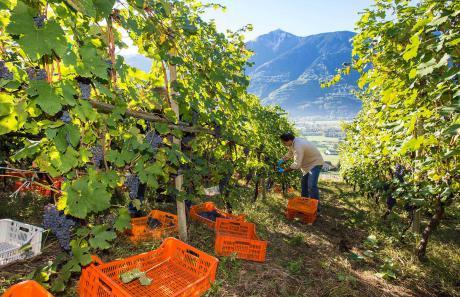 Le vigne della Valtellina