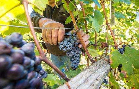 Raccolta a mano nelle vigne eroiche