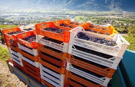 Vendemmia in Valtellina, i terrazzamenti