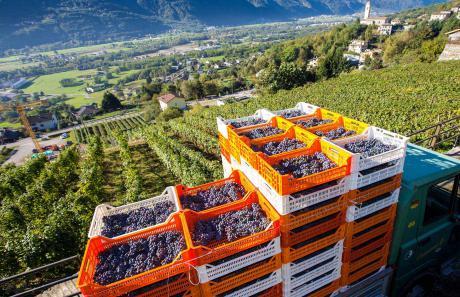 Raccolta dell'uva in Valtellina